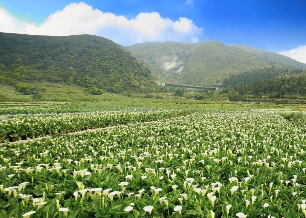 竹子湖海芋季 來源:台北旅遊網