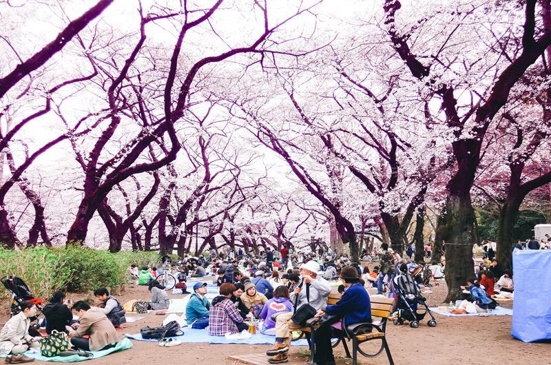 花見是日本春季最熱鬧的活動@井之頭恩賜公園(照片來源:Dick Thomas Johnson@Flickr)