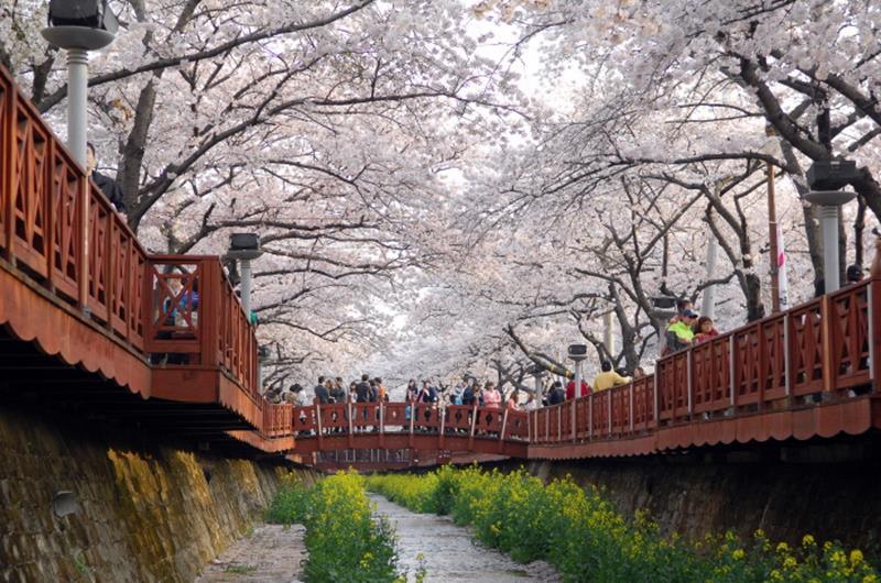余佐川櫻花道(照片來源:KOREA TOURISM ORGANIZATION官網)https://bit.ly/2VGChXy