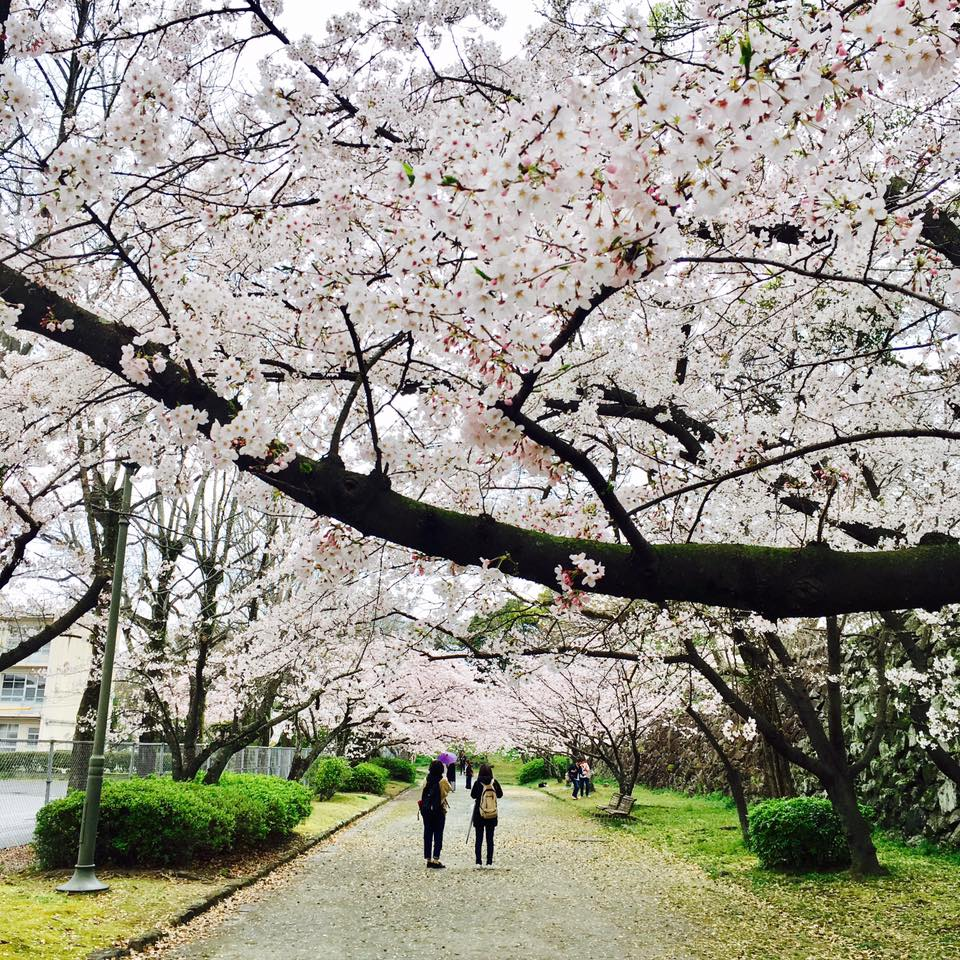 九州櫻花景點:舞鶴公園 來源:fb@@infosakura2012