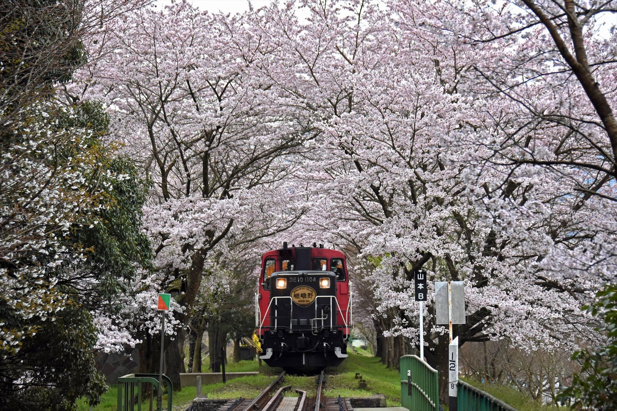 搭乘嵐山小火車賞櫻花美景,既愜意又輕鬆。(圖片取自嵯峨野觀光鐵道FB粉絲團)