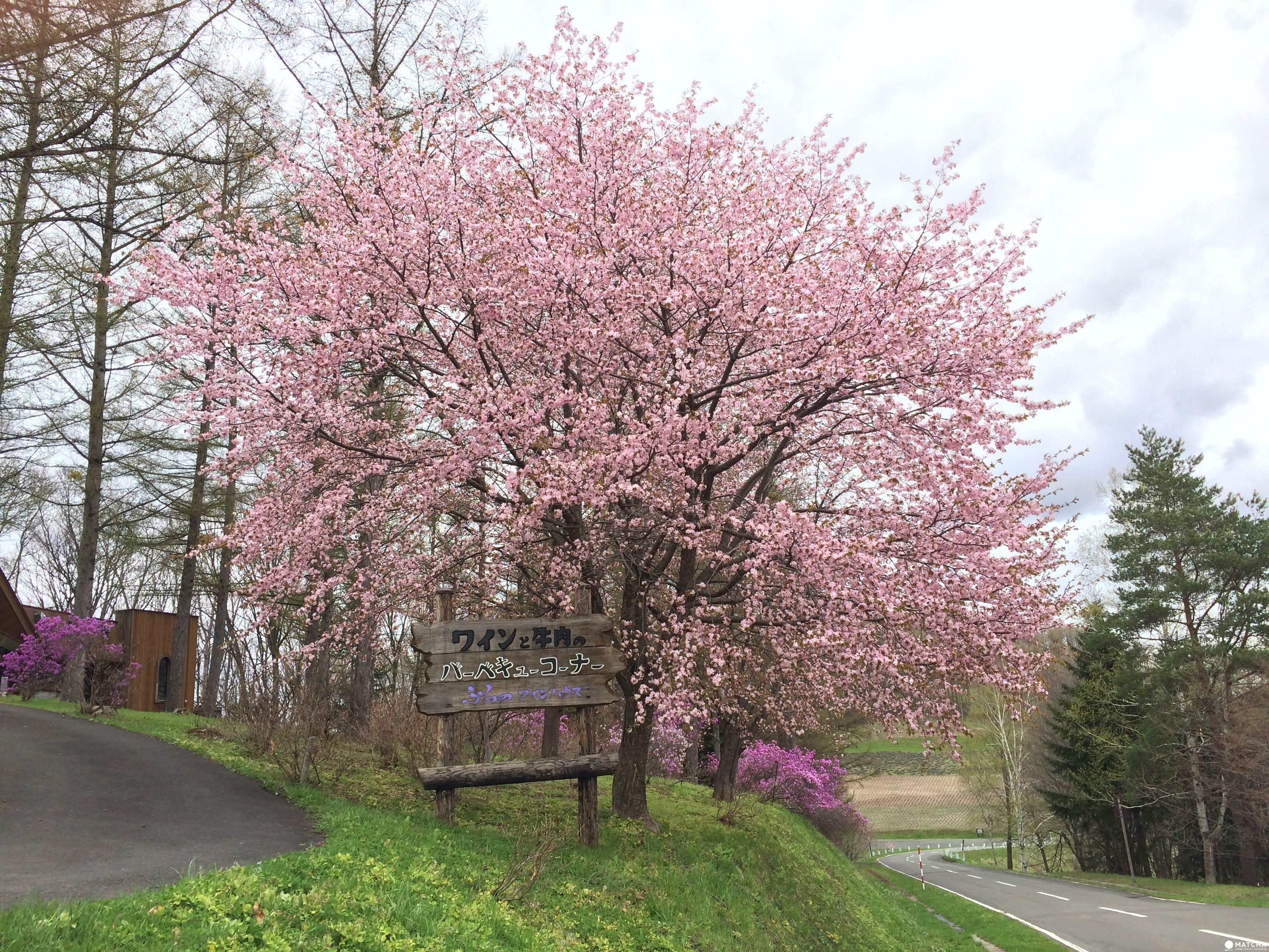 登上清水山可見沿途的櫻花樹。(圖片取自lifedio.com)