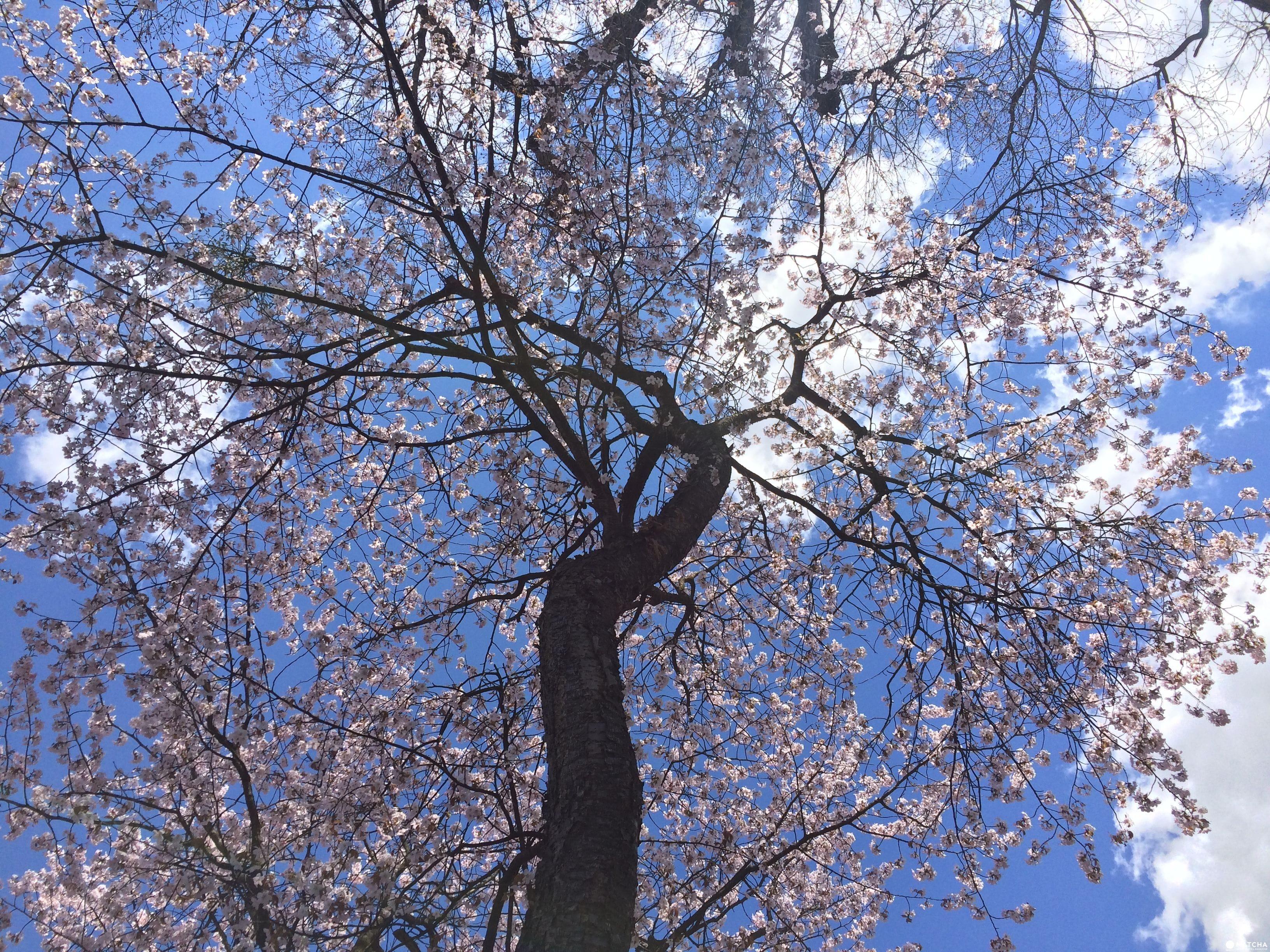 藍天白雲下,靜謐的鳥沼公園盛開的櫻花樹。(圖片取自matcha-jp.com)