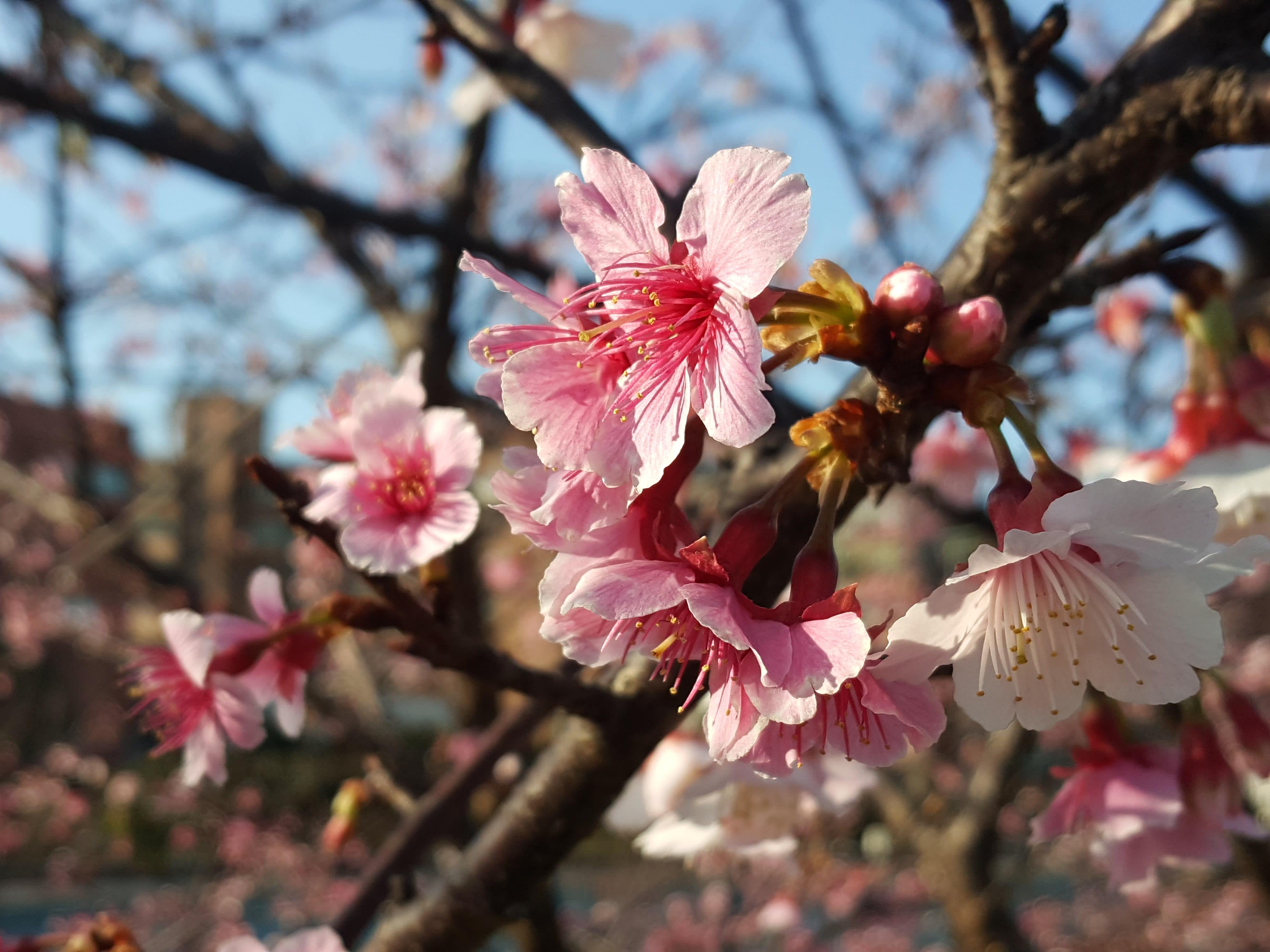 【2019櫻花季】內湖樂活公園櫻花季!交通、特色、路線一次搞定