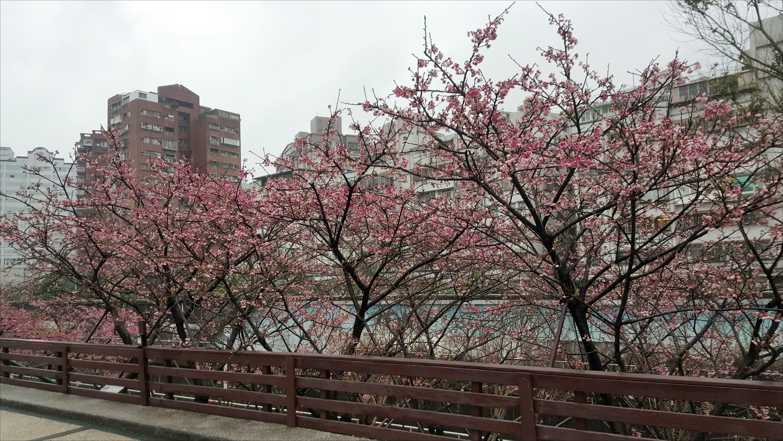 內湖樂活公園-寒櫻(圖片來源:飯糰媽吃喝玩樂雜記)