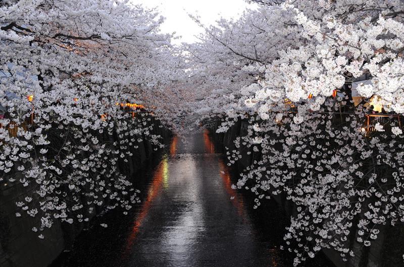2019年東京人氣及呼聲最旺的目黒川沿岸櫻花(copycat327@Photozou)https://bit.ly/2Dgo8sZ