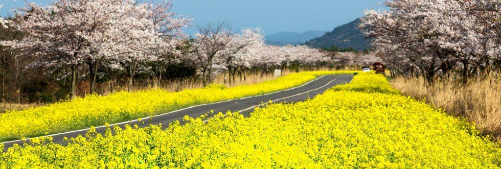 濟州櫻花節 來源:fb@제주관광공사