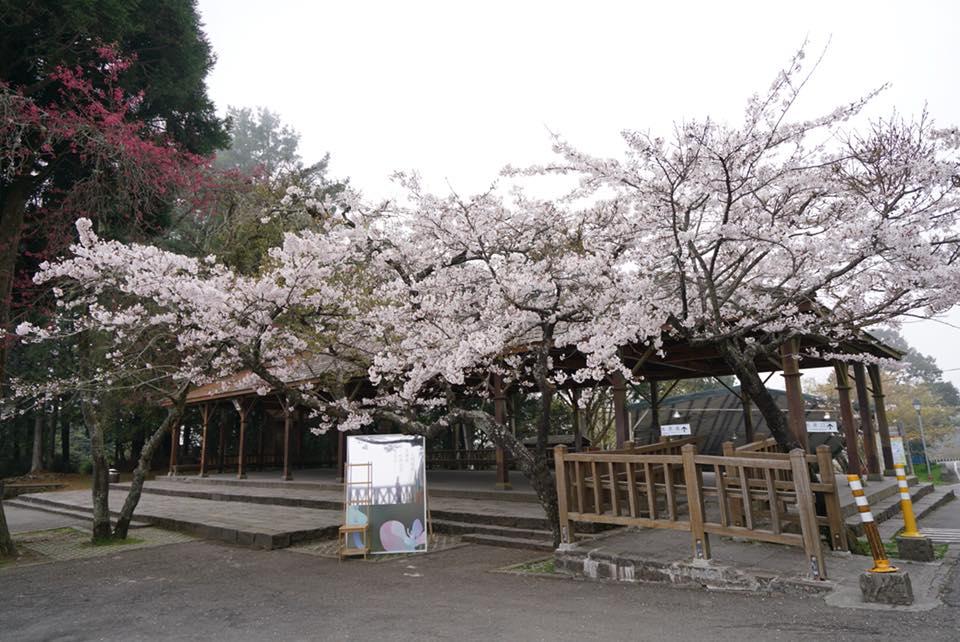 祝山車站迎日出賞櫻花 來源:fb@阿里山國家森林遊樂區
