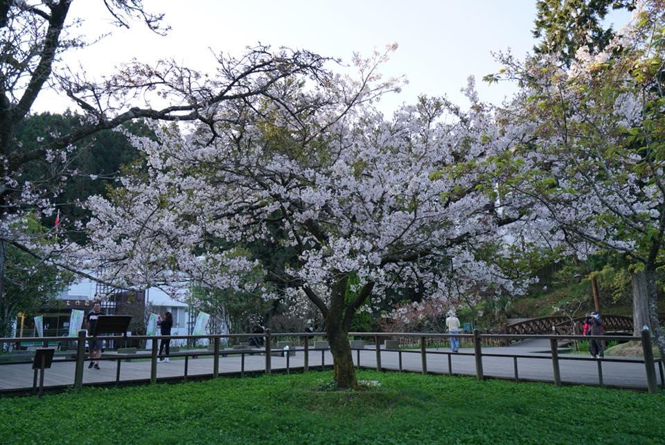 阿里山工作站前的指標櫻花樹「櫻王」 來源:fb@阿里山國家森林遊樂區