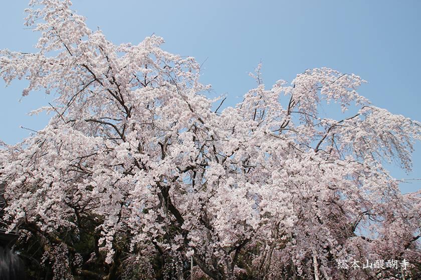 「枝垂櫻」結合櫻花嬌媚和垂柳的姿態。(圖片取自総本山醍醐寺FB粉絲團)