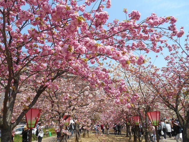 上百種櫻花形成美麗的櫻花隧道。(圖片取自cdn.4travel.jp)