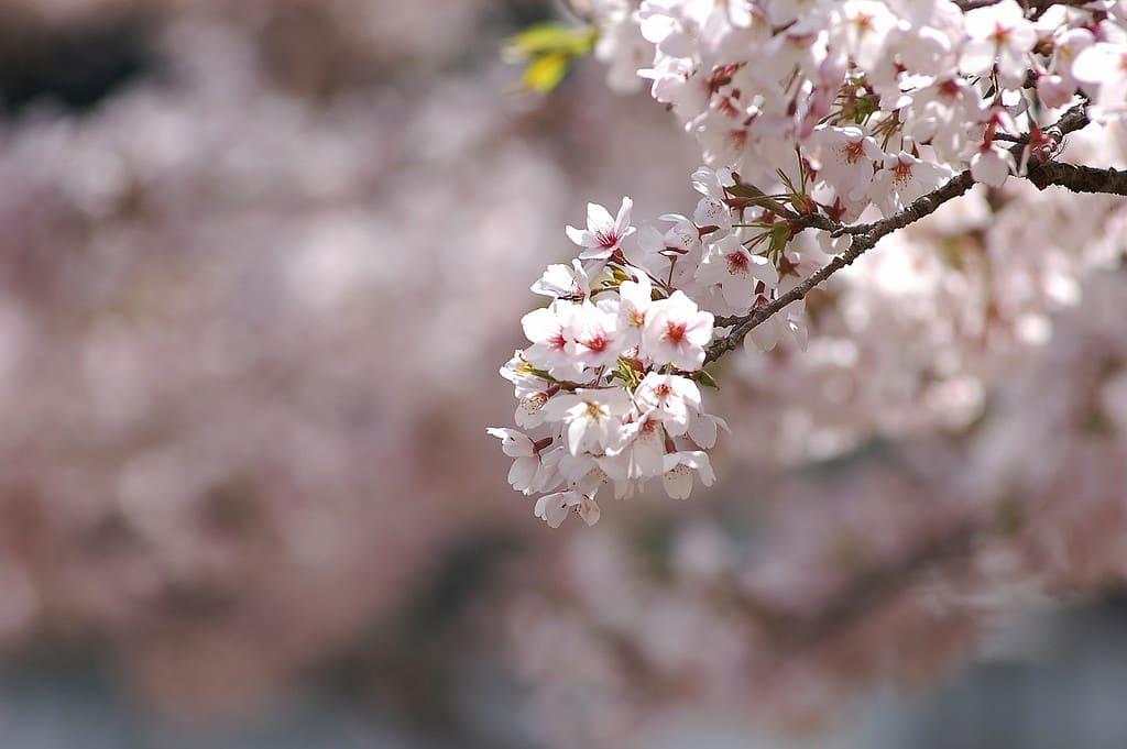 阿里山工作站前的櫻王 來源:flickr@ shawnchou710