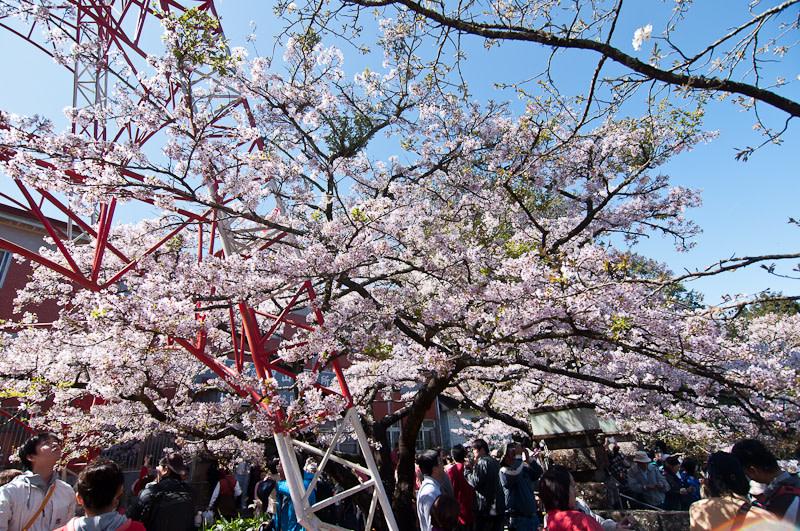 【2019櫻花季】阿里山櫻花季三月登場!交通管制、賞櫻景點、預測時間懶人包
