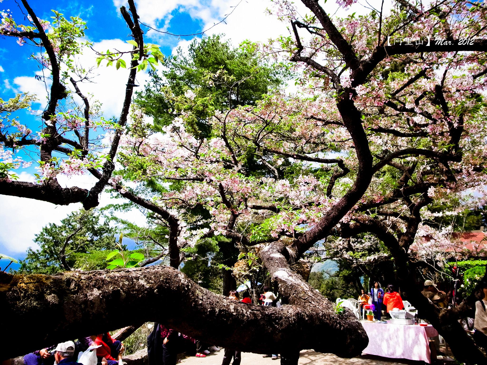阿里山賓館櫻花 來源:flickr@YJ Liu
