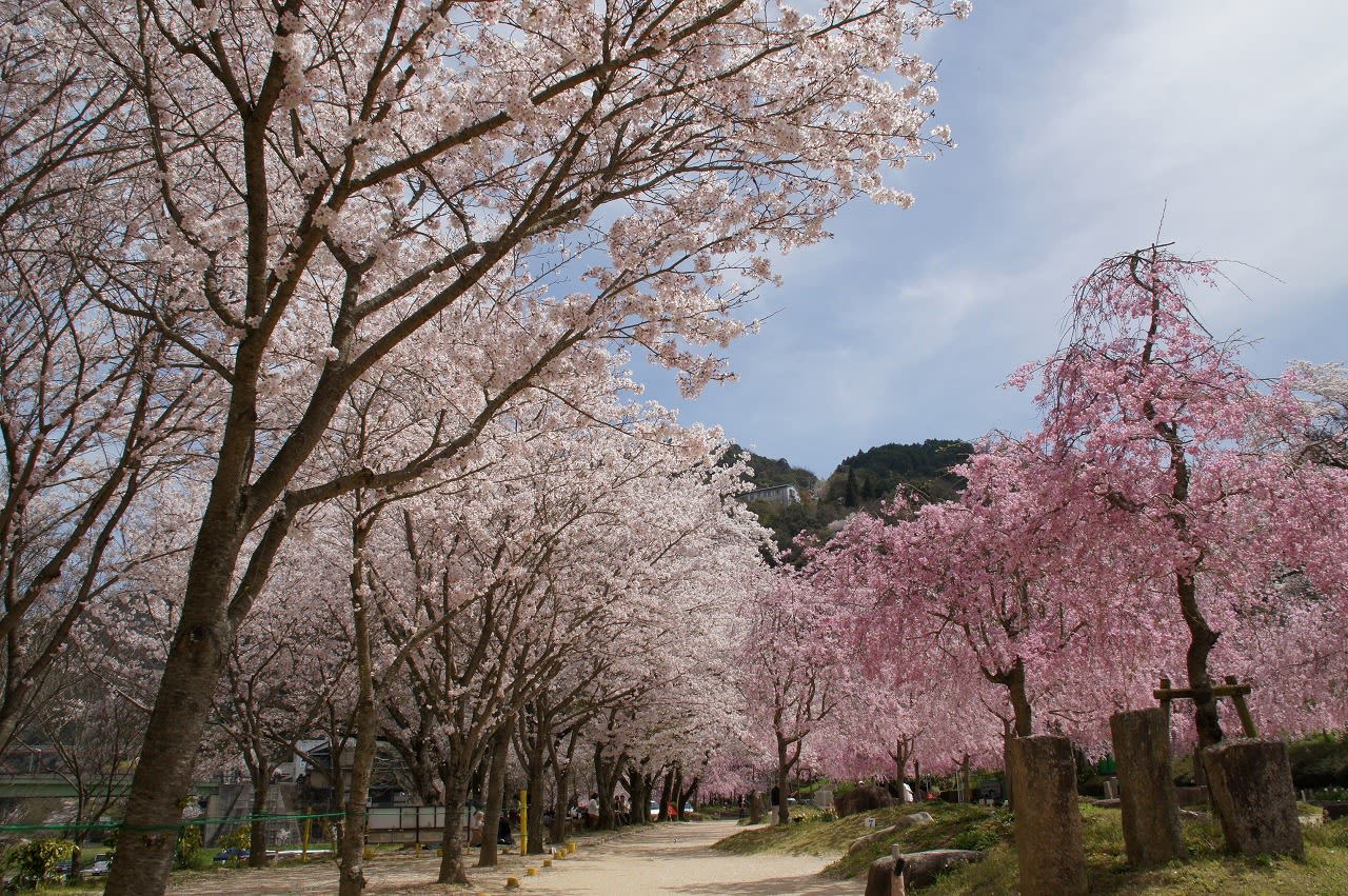 笠置山的櫻花盛開,畫面之美深烙於心。(圖片取自http://svcstrg.navitime.jp)
