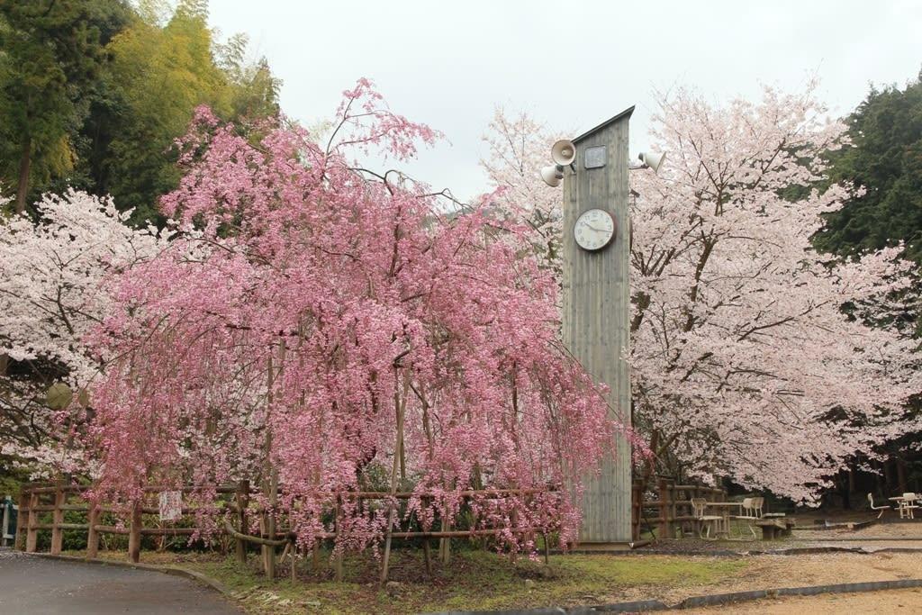 山中溪站周圍沿岸的千棵樱花树,讓此地成了賞櫻名勝。(圖片取自sangasaijiki.seesaa.net)