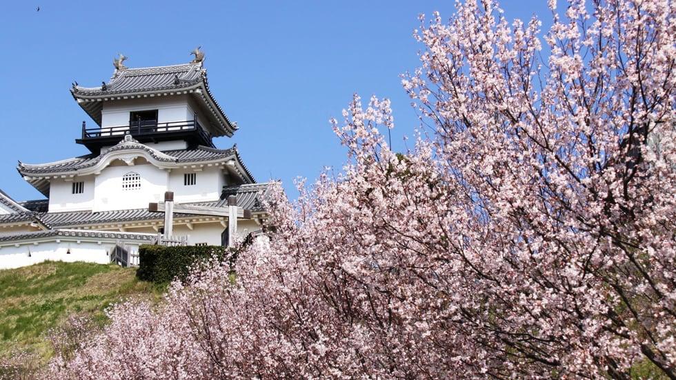 天守閣與櫻花交織出的美景。(圖片取自japan-highlightstravel.com)