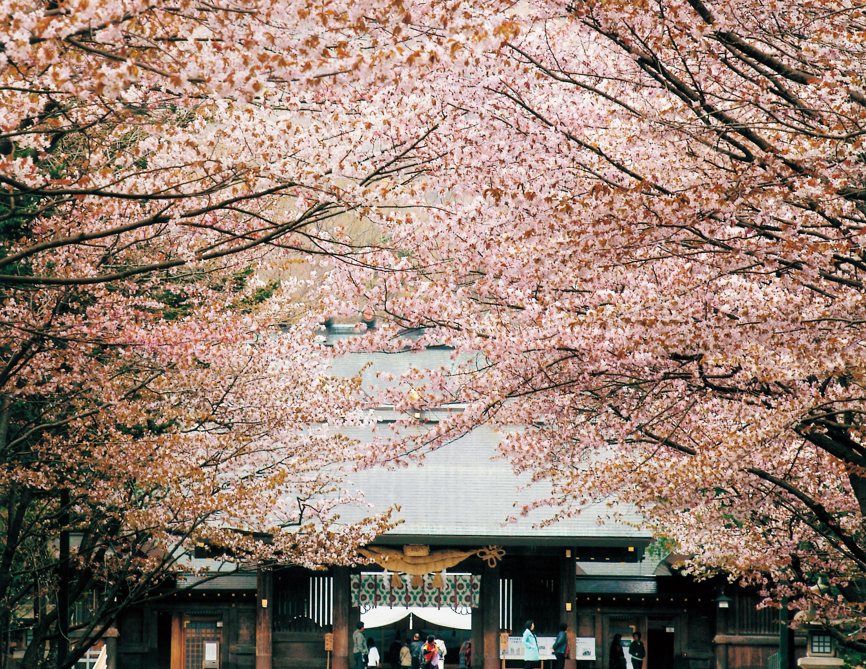 賞花期間會在神宮區域內設置攤販小吃,讓旅人們邊吃邊賞花!(圖片取自www.hokkaidojingu.or.jp)