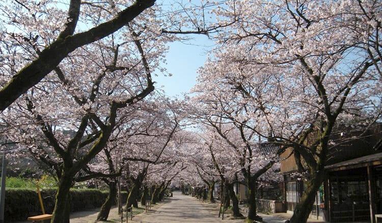 九州櫻花景點:秋月杉之馬場通 來源:http://machijp.com/