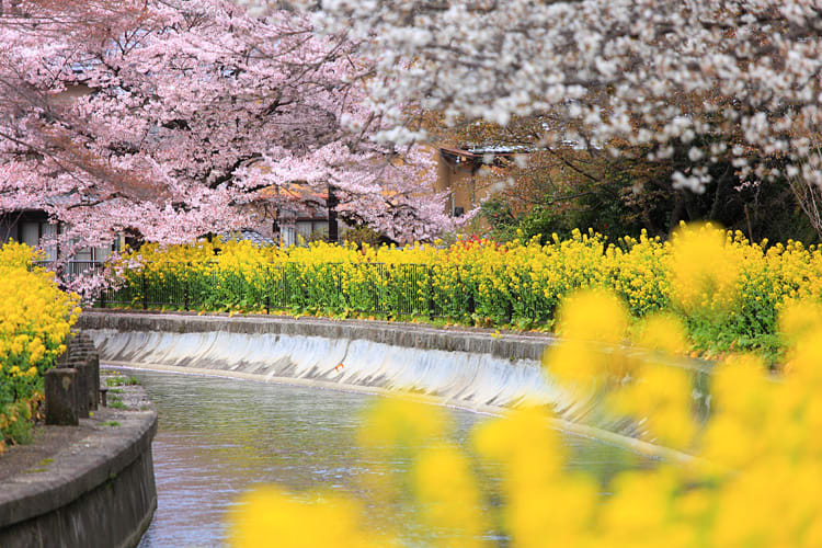 粉嫩與金黃色交織出的春景。(圖片取自http://www.imamiya.jp)