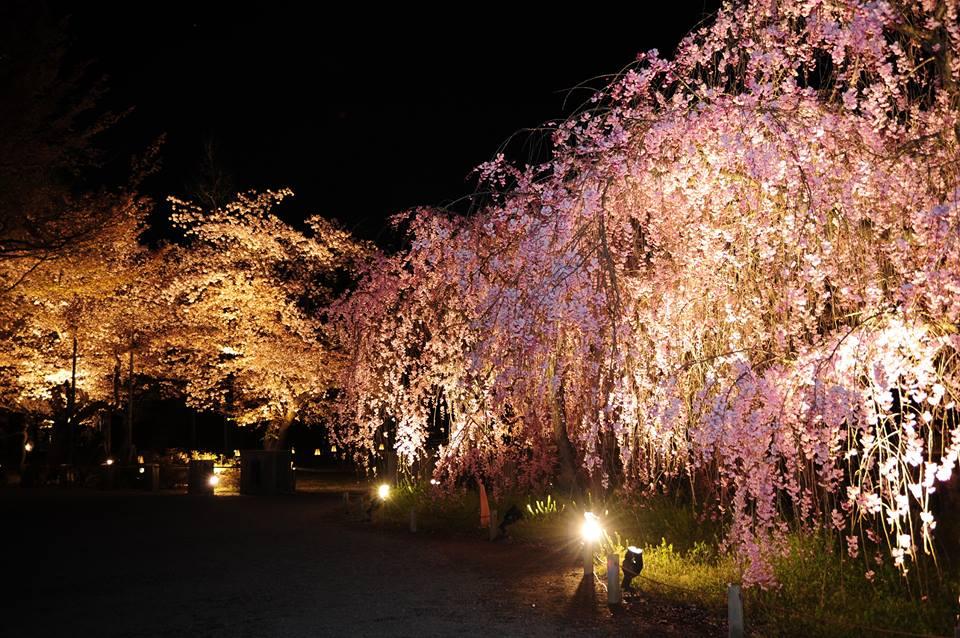 京都二条城賞夜櫻 來源:fb@世界遺産・二条城 World Heritage Site Nijo-jo castle