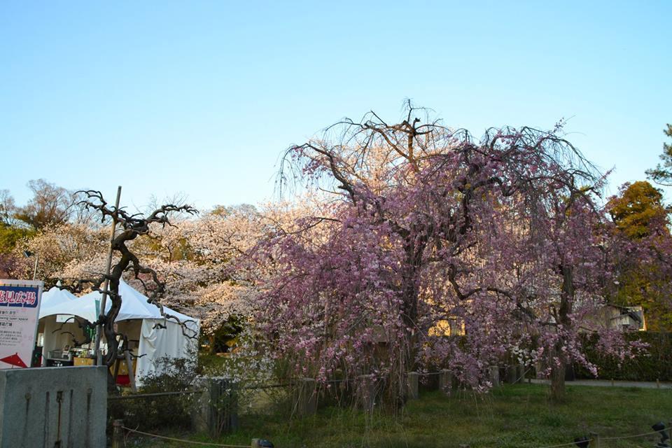 京都二条城 來源:fb@世界遺産・二条城 World Heritage Site Nijo-jo castle