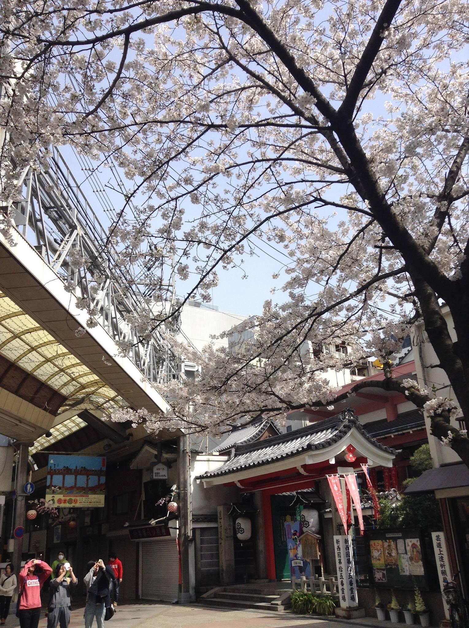 寺町新京極商店街也有美麗櫻花開 fb@shinkyogoku
