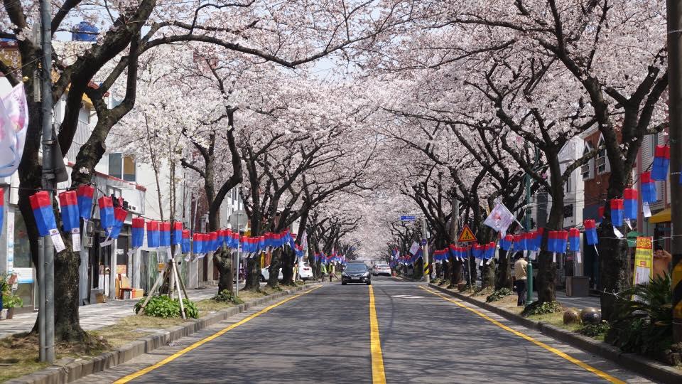 白天的粉紅典農路 來源:fb @visitjeju.ch