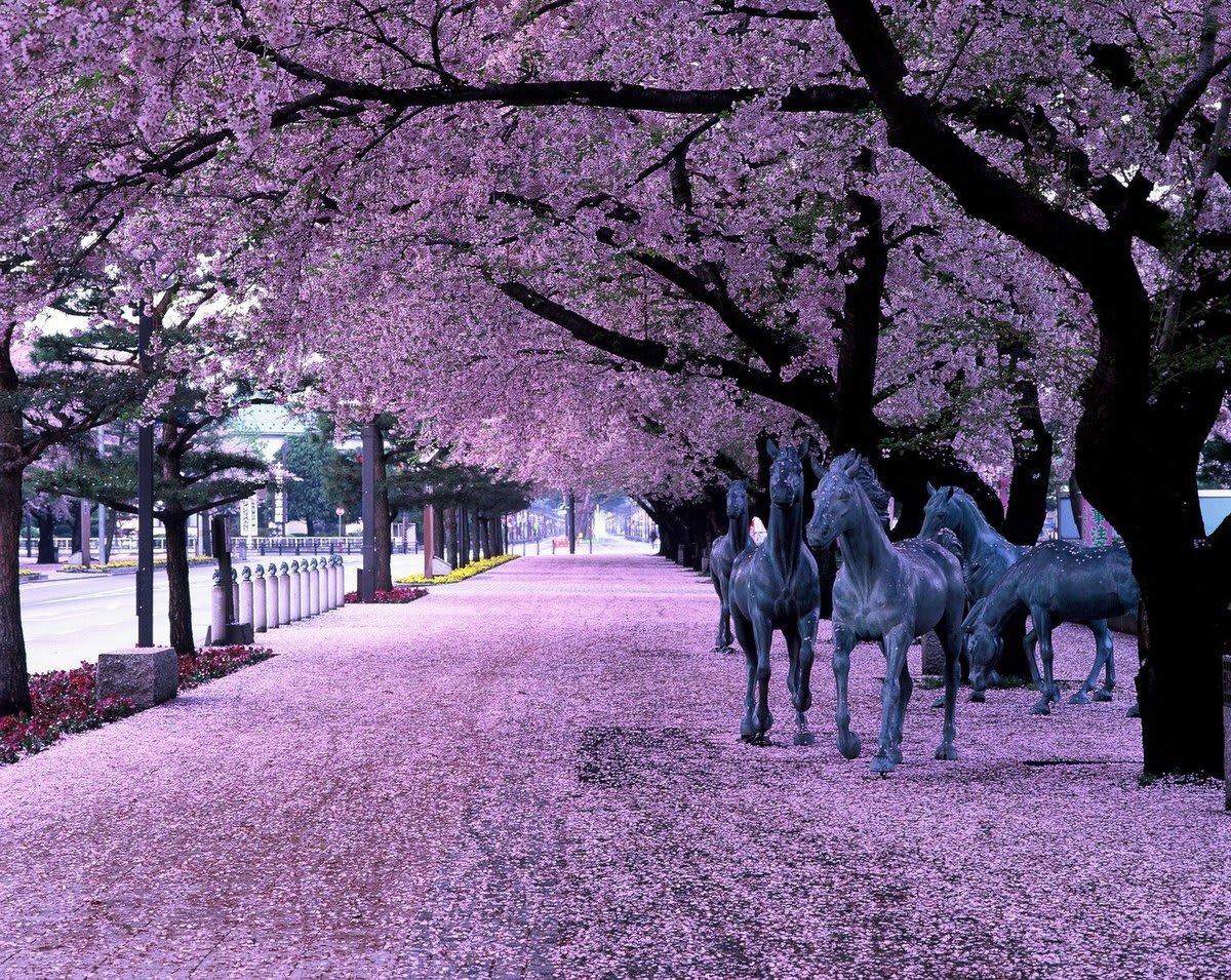 十和田市官廳街猶如櫻花紅地毯,令人驚艷!(圖片取自nanavi.net)
