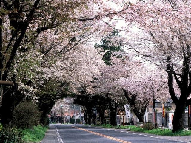 日光街道櫻並木。(圖片取自sp.jorudan.co.jp)
