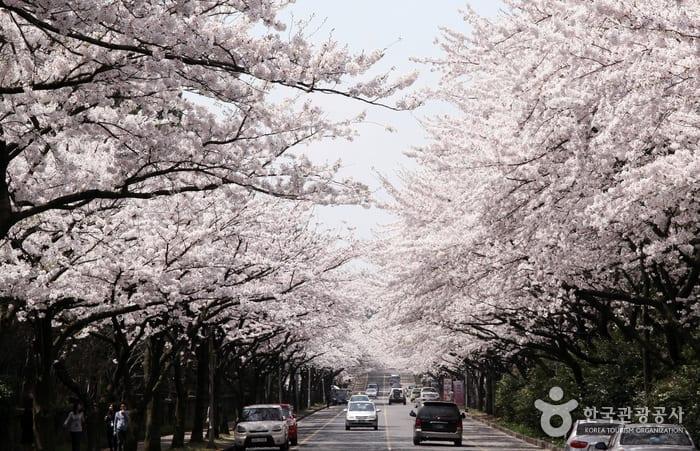 濟州大學前的櫻花公路 來源:korean.visitkorea.or.kr