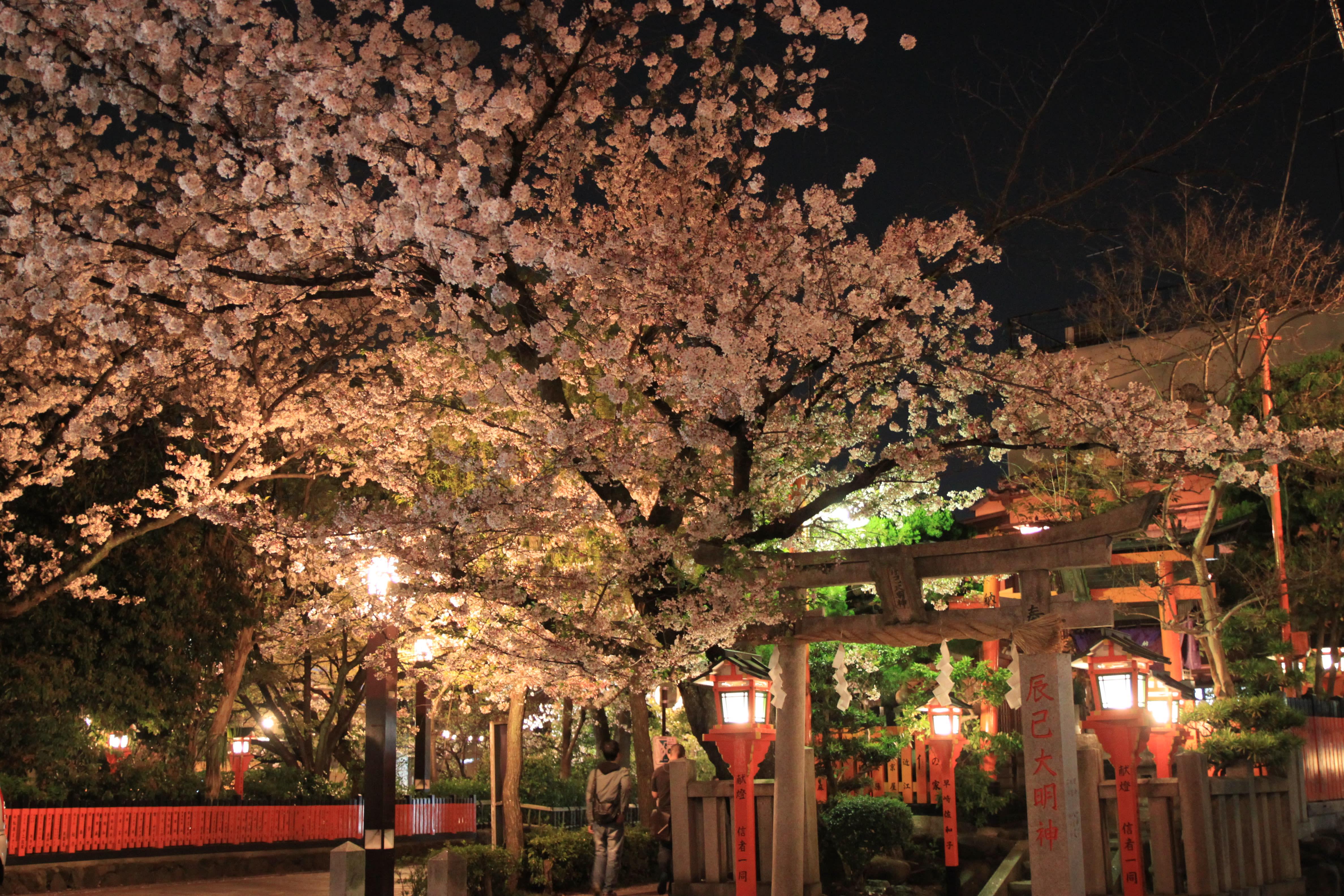 2019重新舉辦的「祇園白川櫻花祭夜間點燈」 來源:kyoto-design.jp