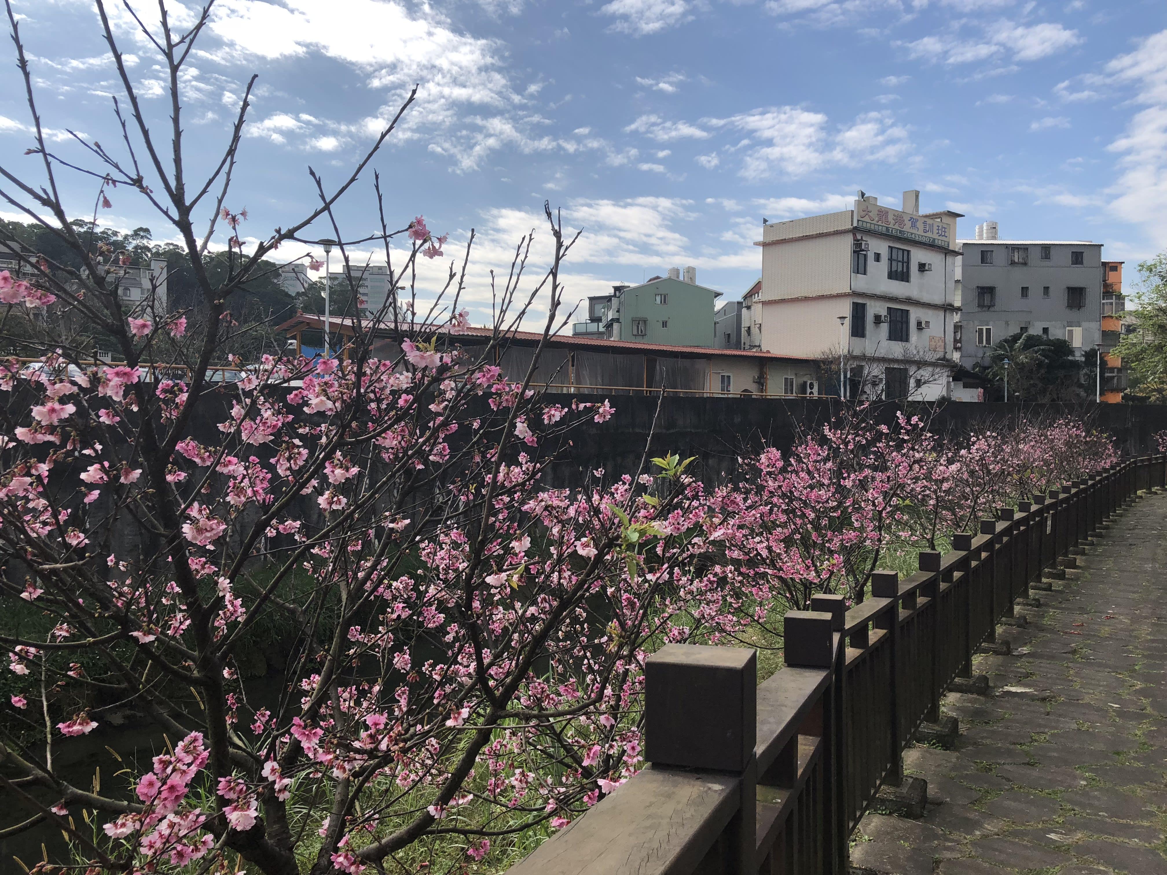 內溝溪櫻花