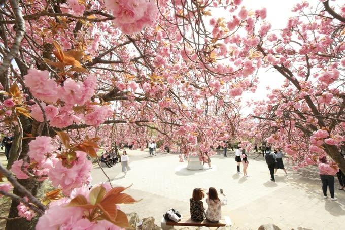 【2019櫻花季】釜山櫻花季3天2夜攻略!一起到大海盡頭賞櫻去