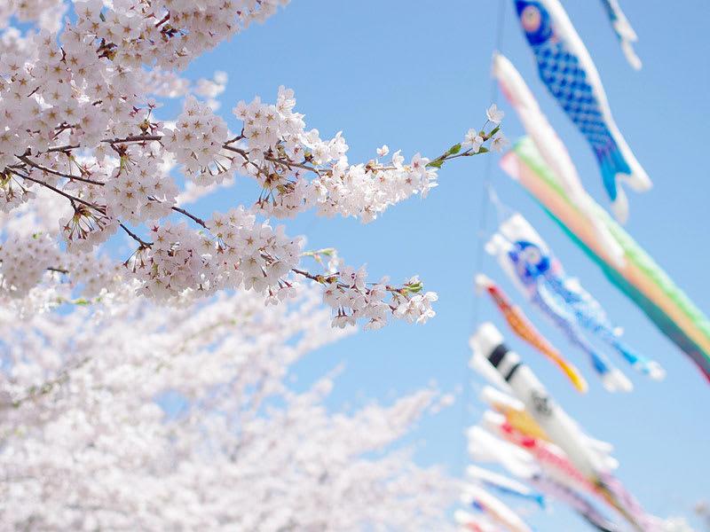 隨風飄逸的鯉魚旗和櫻花樹同框,很是特別!(圖片取自www.town.noheji.aomori.jp)