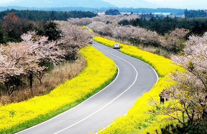 濟州島鹿山路 油菜花與櫻花的季節 來源:http://www.wikitree.co.kr
