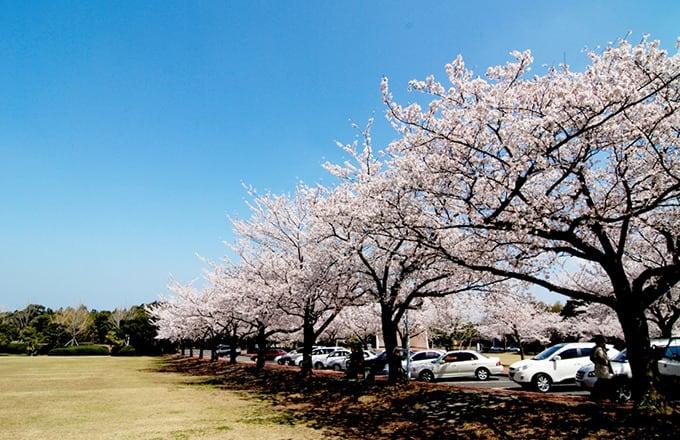 濟州大學的櫻花 來源:http://www.wikitree.co.kr