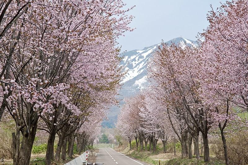 世界第一櫻花大道。(圖片取自www.hirosakipark.jp)