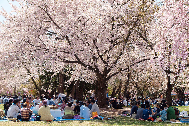 櫻花樹下的幸福時光。(圖片取自sakura.hirosakipark.jp)