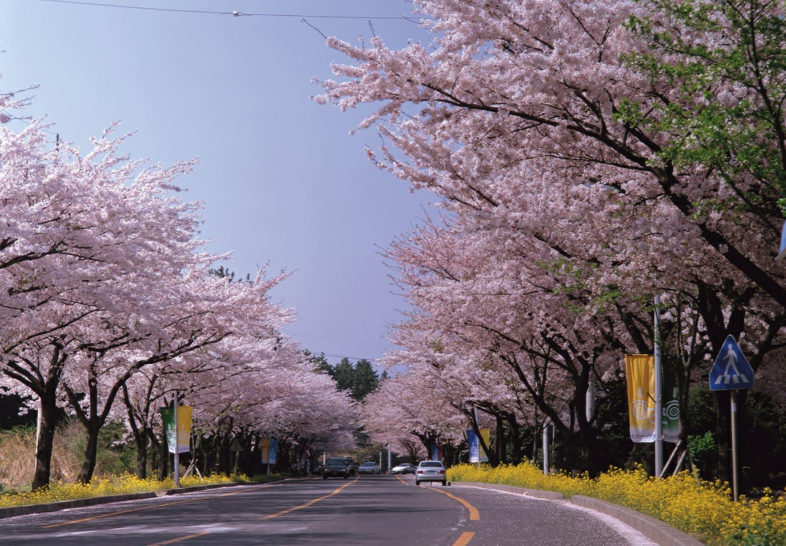慶州櫻花樹海道路,圖片取自beach802.tistory.com。