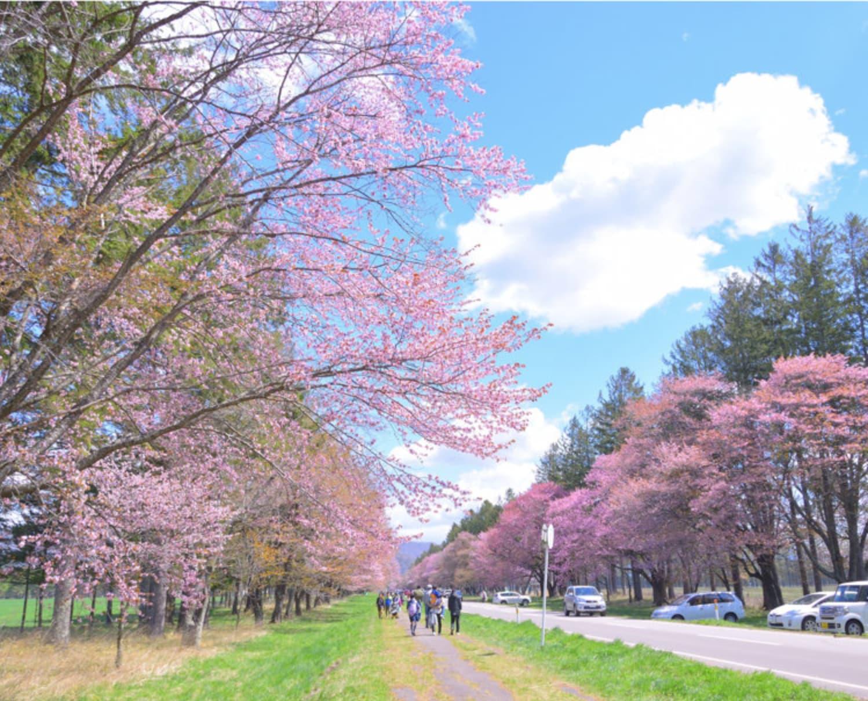 静内二十間道路。(圖片取自img.co-trip.jp)