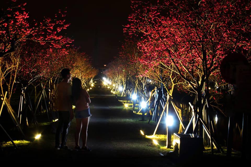 宜蘭羅莊櫻花步道,圖片取自宜蘭羅莊櫻花步道FB粉絲團。