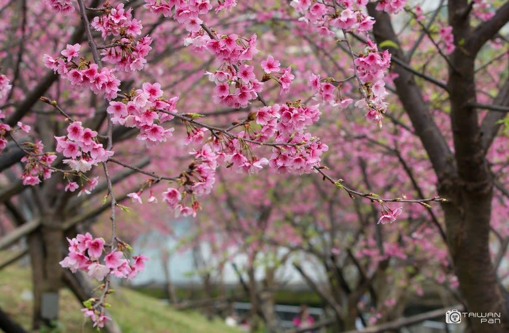 台北櫻花景點:東湖 內溝溪樂活公園,圖片取自台北市觀光傳播局~潘俊霖攝。