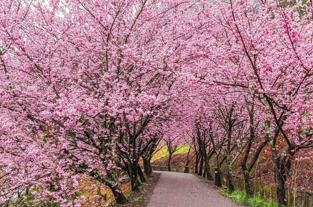 台北櫻花景點:北投 復興三路櫻花隧道,圖片取自blog.homeaway.tw。