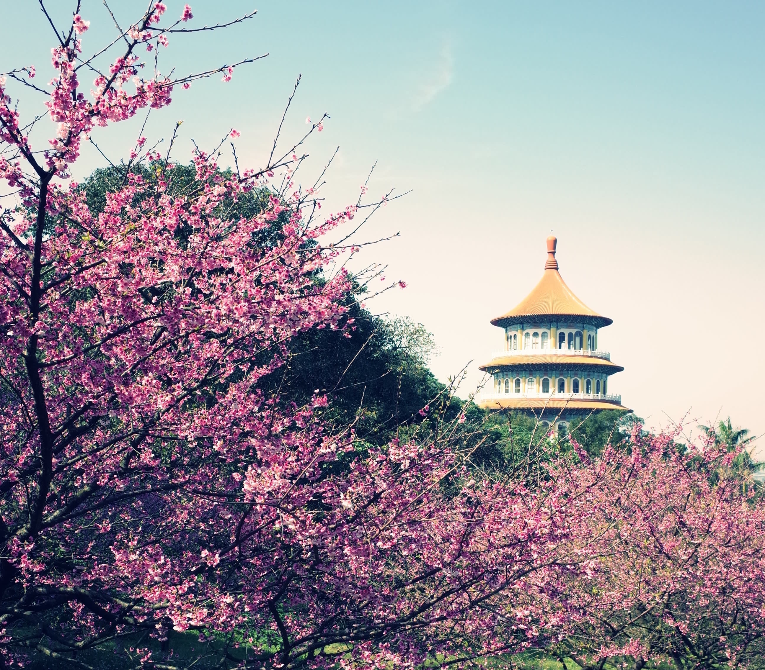 台北櫻花景點:淡水 無極天元宮,圖片取自landscaping.ntpc.gov.tw。