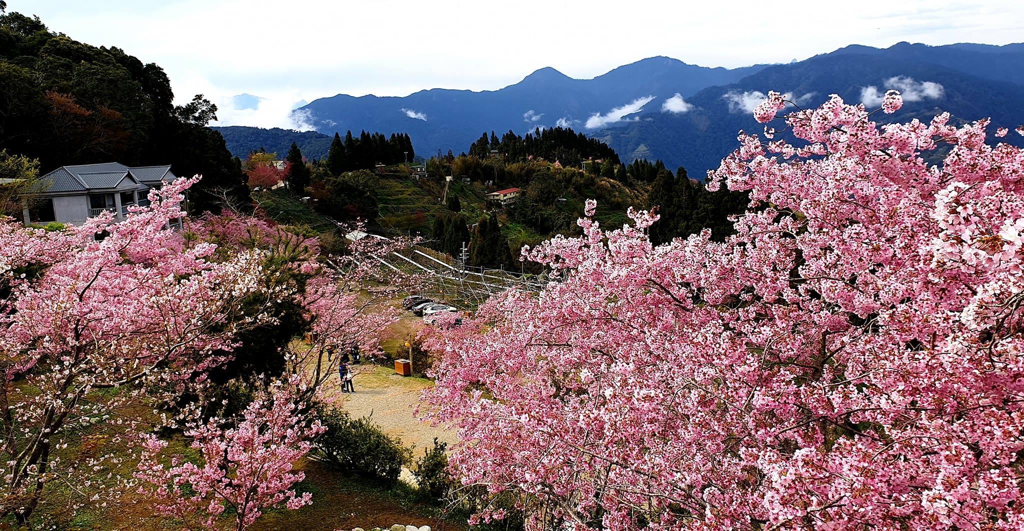 台灣櫻花景點:桃園 拉拉山恩愛農場,圖片取自拉拉山恩愛農場FB粉絲團。