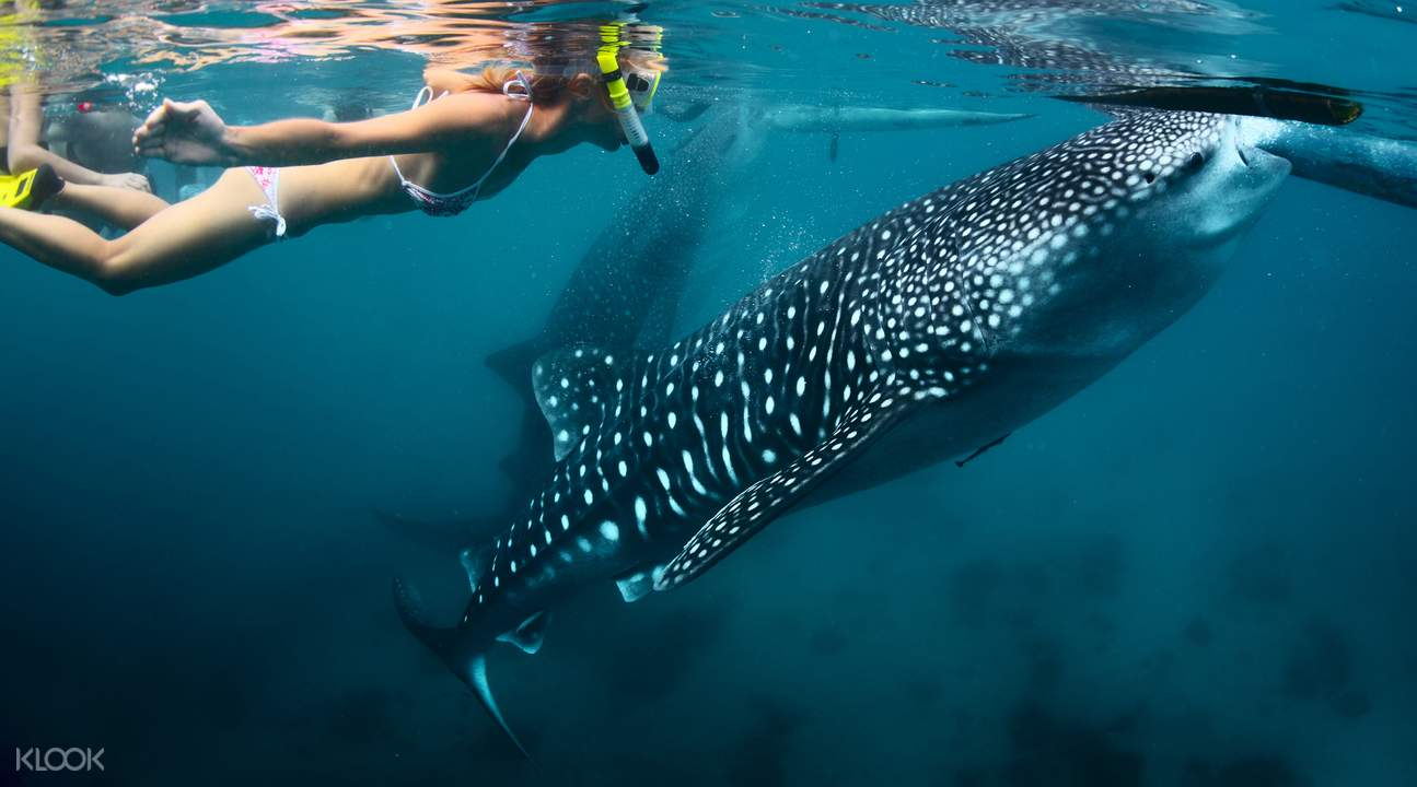 Oslob鯨鯊共游