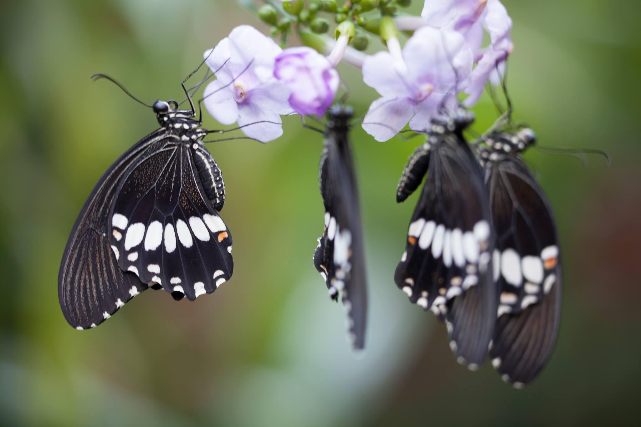 圖片取自Palawan Butterfly Eco-Garden and Tribal Village官方FB粉絲團