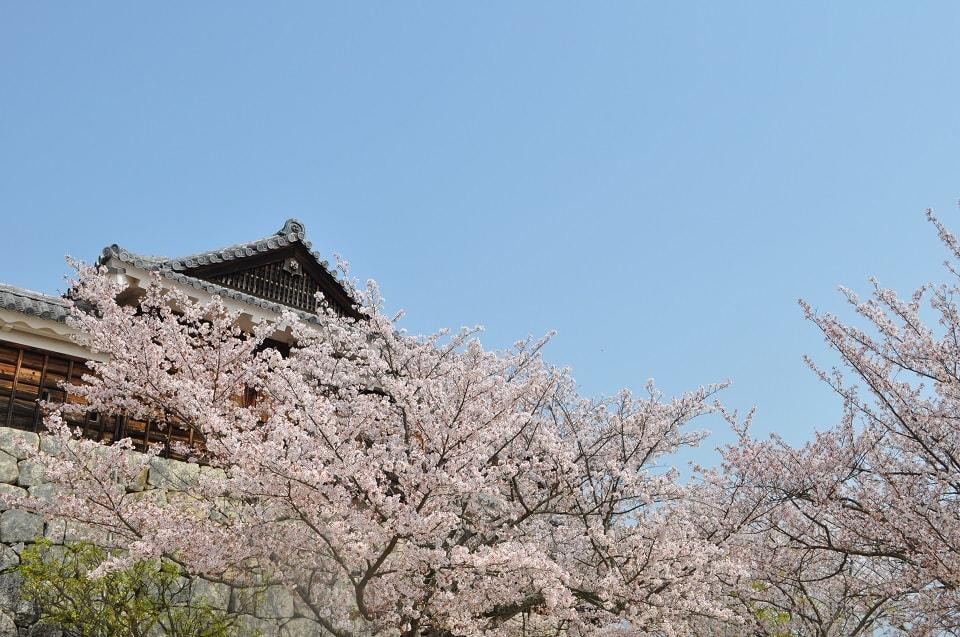 櫻花正值滿開的松山城山公園。