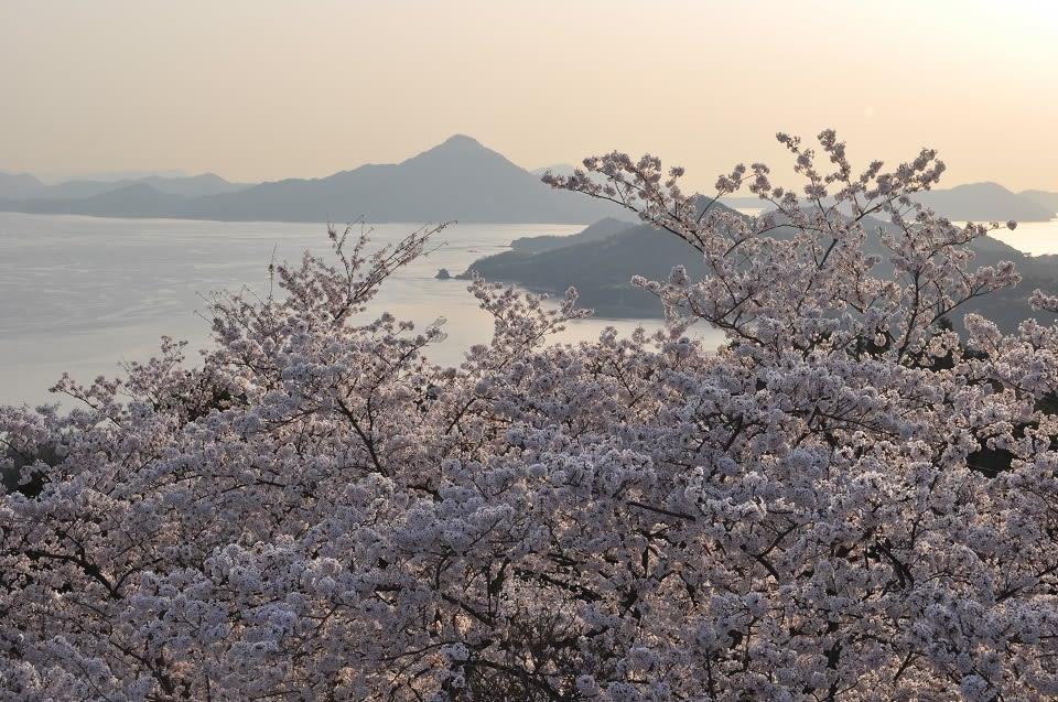 晨光、內海和櫻花的絕景搭配。
